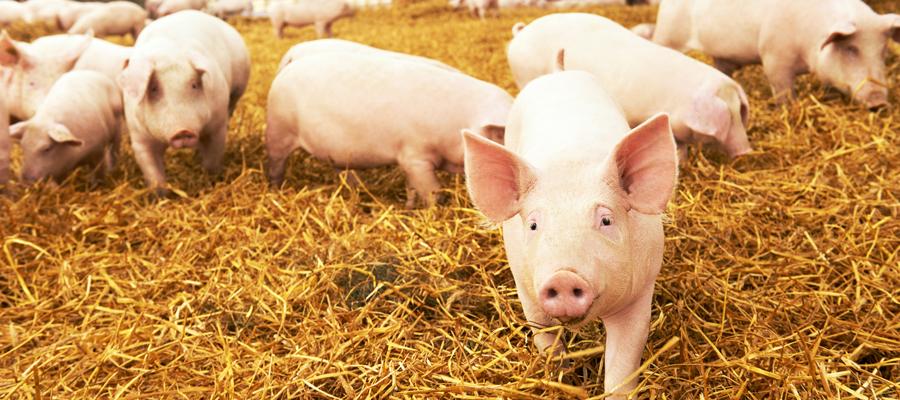 alimentation porc