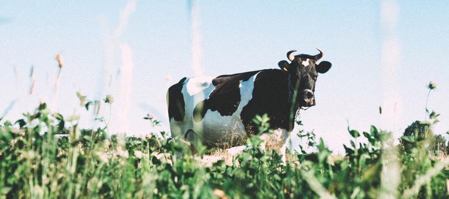 alimentation vache laitière